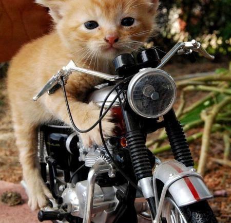 gambar-lucu-kucing-lucu-naik-sepeda-motor « Gianluigim